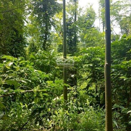 Bán 9Ha Vườn Trồng Tiêu Và Cao Su, Có Trang Trại Nuôi Heo- Ảnh 8