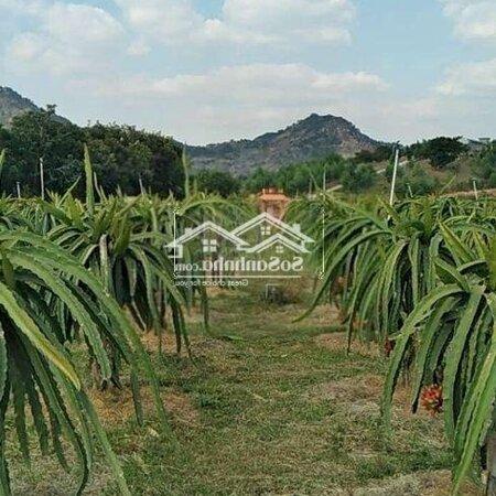 Bán Đất Vườn Đã Trồng400 Trụ Thanh Long- Ảnh 1