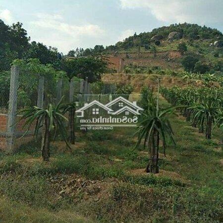 Bán Đất Vườn Đã Trồng400 Trụ Thanh Long- Ảnh 2