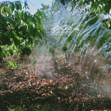 Bán Vườn Cà Phê Lâm Hà 1000M2- Ảnh 4