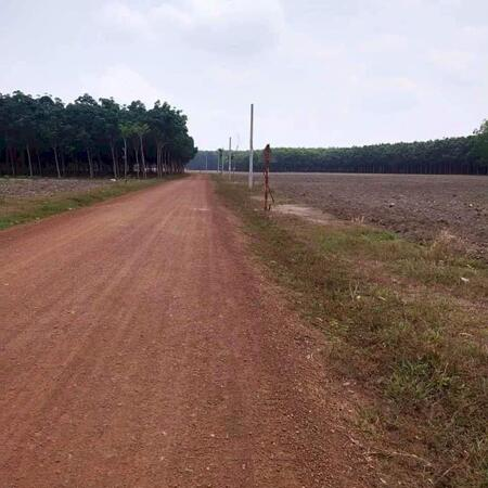 Đất sào Bình Long Bình Phước lô 2200m2 giá 450 triệu , gần KCN ,sổ sẵn , đường thông , dân đông , Đặc biệt có 1 lô gốc 2 mặt tiền đường thông tuyệt đẹp- Ảnh 2